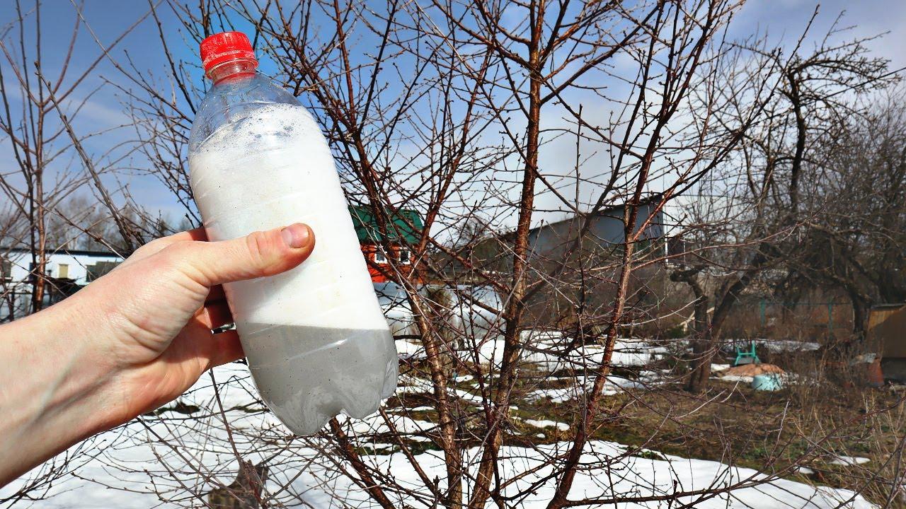 Вишни и сливы будет очень много! Сделайте так в апреле для огромного урожая! Уход за сливой и вишней