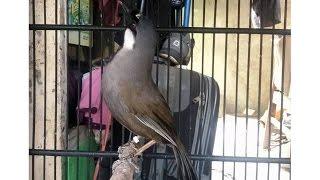 Burung Poksay (Garrulax Leucolophus 3)