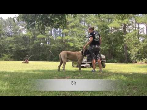 Titan before and after: English Mastiff Training in Columbia, South Carolina