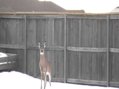 Deer Jumps 6 Foot Fence Barely