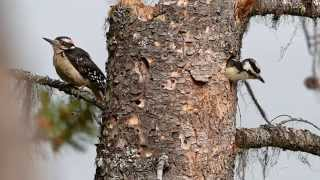 Hairy Woodpecker Family