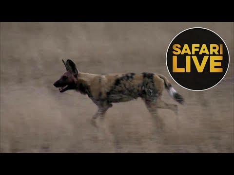 safariLIVE  - Sunset Safari - August 17, 2018