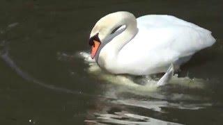 Swan Sex: Brilliant Rare Footage.