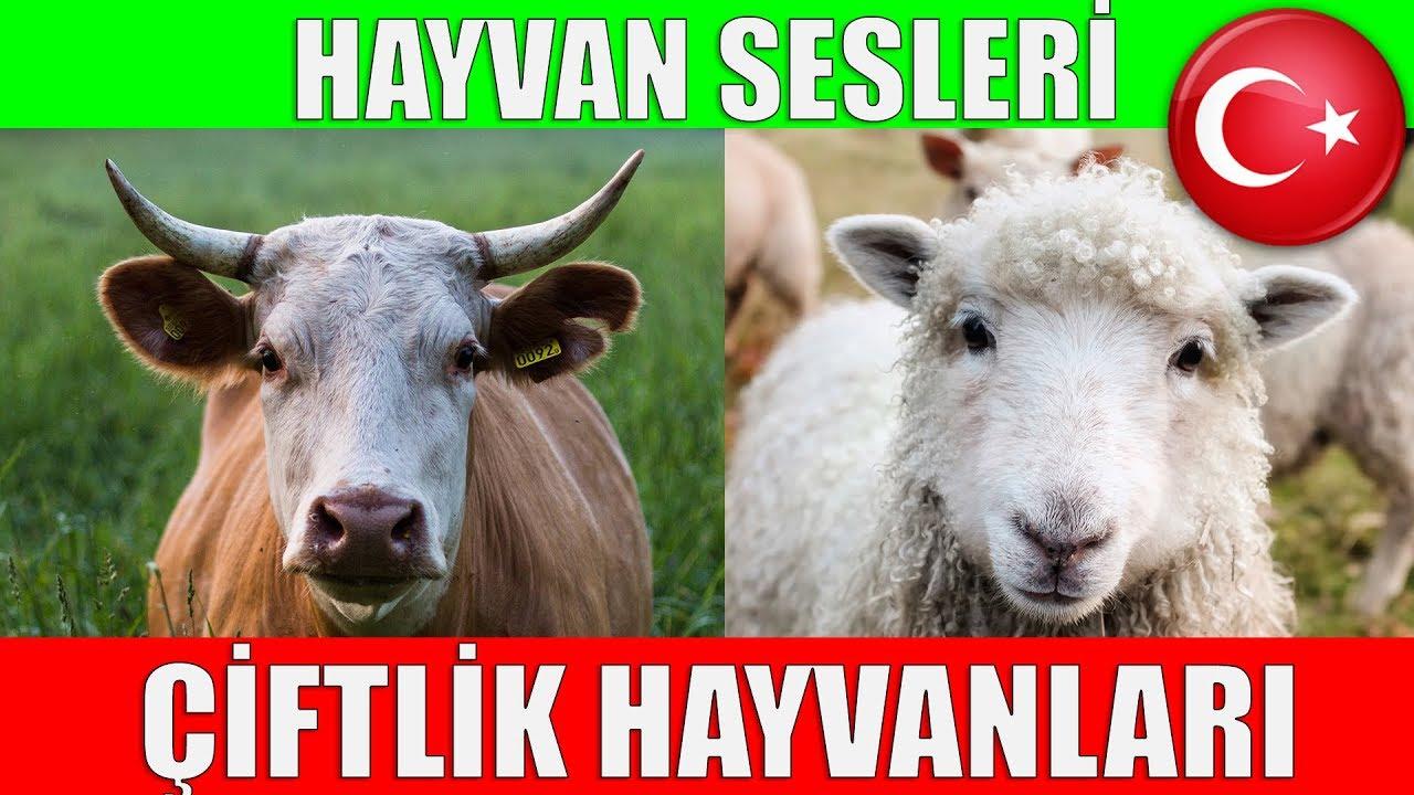 Çiftlik Hayvanları ve Hayvan Sesleri - Çocuklar ve Bebekler için Türkçe Okul Öncesi Eğitici Video