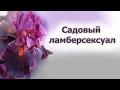 Секреты ириса бородатого (Iris hybrida)