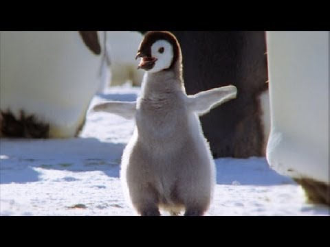 Cool Cute Chicks! - Amazing Animal Babies: Emperor Penguin Chicks (Ep 5) - Earth Unplugged