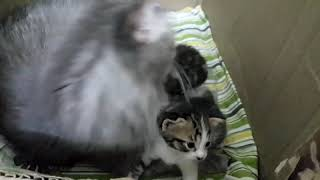 Persian cat taking care of her kittens