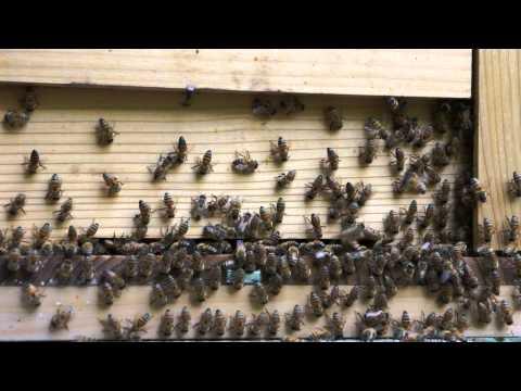 セイヨウミツバチ 異常行動