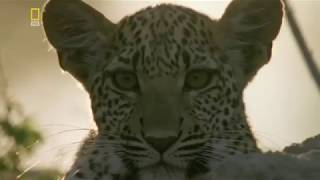 Документальный фильм. Дикие кошки. Хищники Африки.  Леопарды HD.