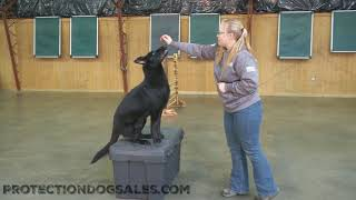 Haven Von Prufenpuden 2 Year Old Black Female Turn Key Protection Dog For Sale