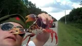 Crab bites nose / Краб кусает за нос