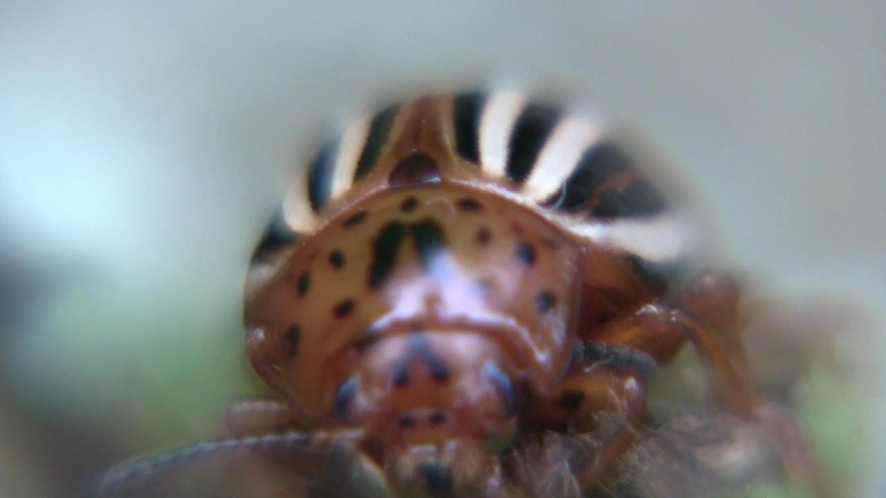 False coloring in animals - False Potato Beetle
