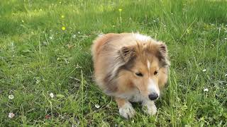 Sheltie Lucy 4 years ~ Trick & Frisbee