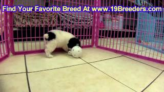 Toy Poodle, Puppies, For, Sale, In, Columbia, Maryland, Md, Perry Hall, Pikesville, College Park, Sa