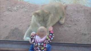 Lion trying to eat Abigail at Oklahoma City zoo