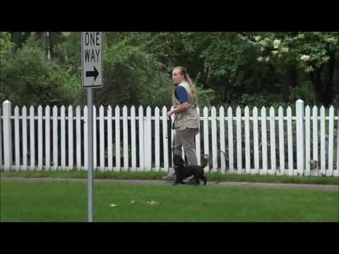 Maggie (Havanese X Poodle) Boot Camp Dog Training Video