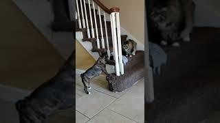French Bulldog VS Maine Coon