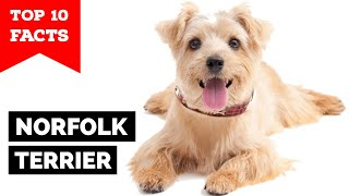 Norfolk Terrier  Top 10 Facts
