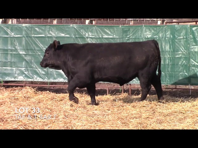 T Bar T and Taliaferro Angus Lot 33