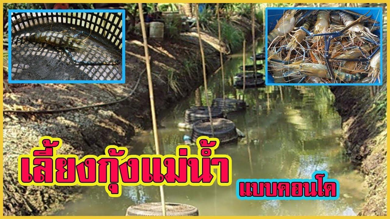 เลี้ยงกุ้งแม่น้ำ | ด้วยตะกร้าคอนโด ในร่องสวน |