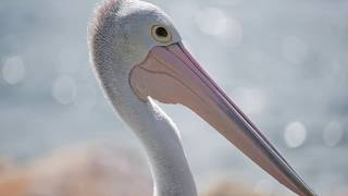Pelican Photo with Nikon d750 and Nikkor 300mm pf f4