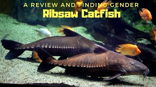 A Gentle Monster Fish   Niger Fish   Ribsaw Catfish