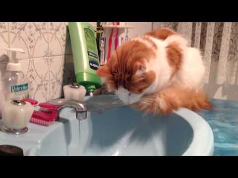 Turkish Van Cat fascinated by water