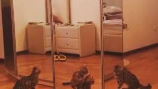 Котенок испугался своего отражения и сошел с ума