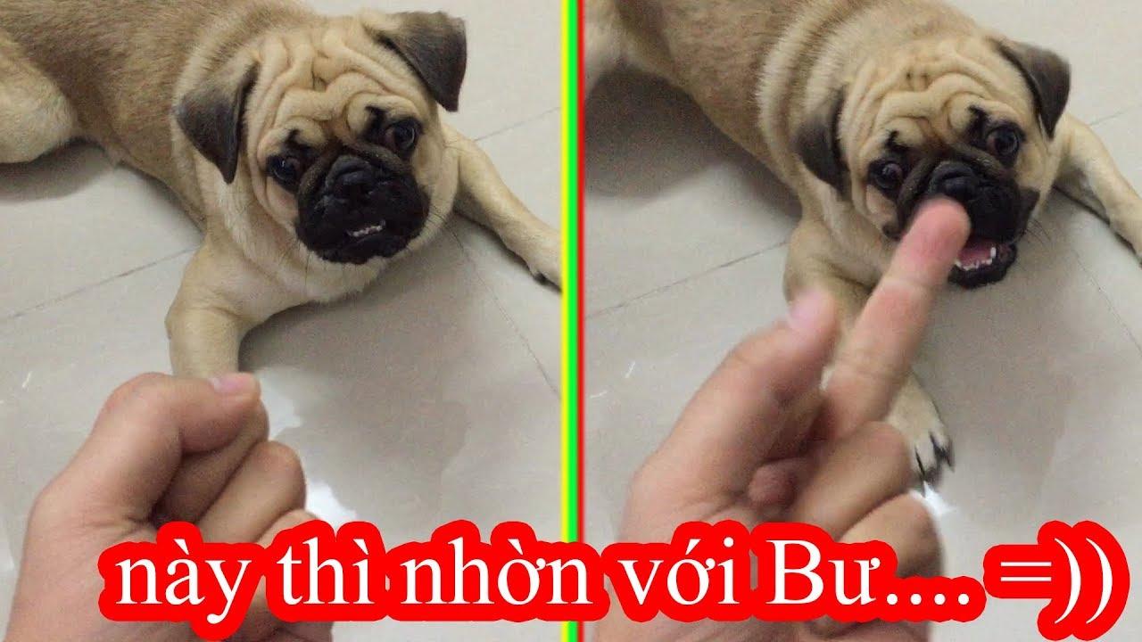 😋Thử Giơ Ngón Tay Thối Xem Chó Pug Bư Phản Ứng NTN =)) ⏩ Pugk Vlog