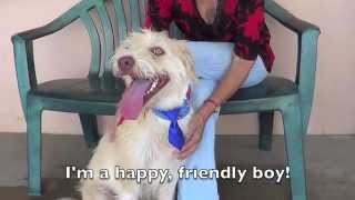 **ADOPTED** Adopt Tanner, the Wheaten Terrier at Pet Adoption Fund