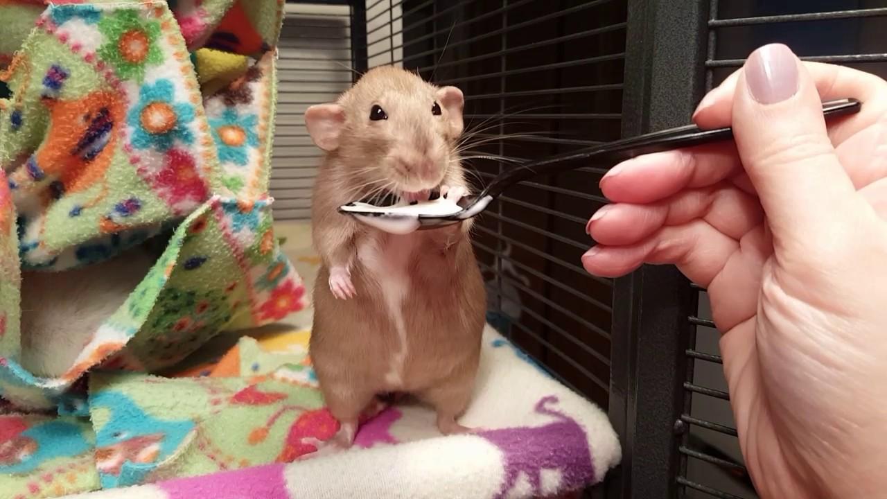 Rat Eating Yogurt... On a Spoon - YouTube on