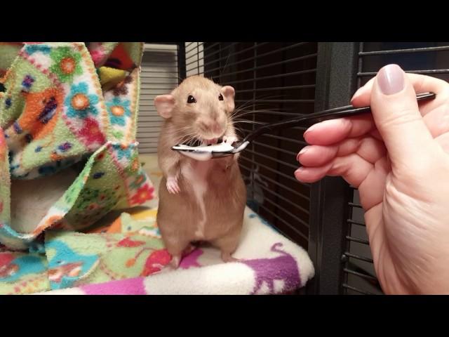 Rat Eating Yogurt… On a Spoon