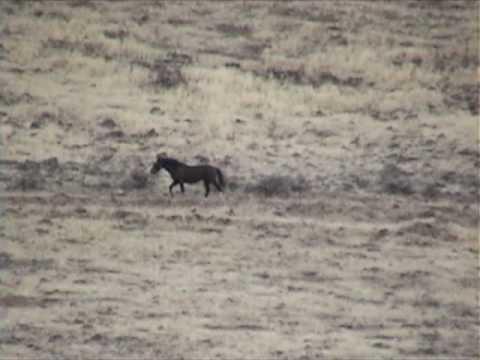 Lone Black Horse Avoids Capture @ Calico Roundup