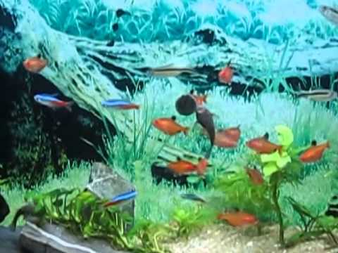 Serpae Tetra Red Minor Tetra Neon Fish Youtube