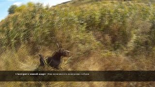 Охота на фазана - Забавный случай - Работа дратхаара в камыше - Охота с дратхааром