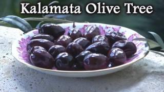 Kalamata Olive Tree