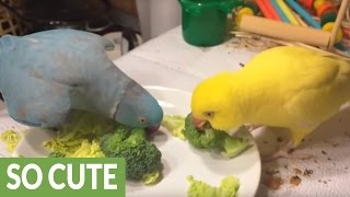 Parrot desperately attempts to capture female's attention
