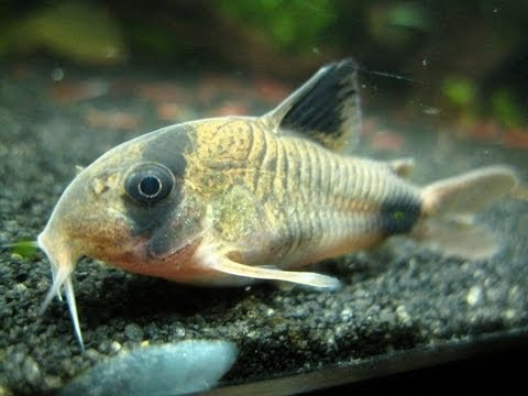 Panda Corydora Breeding - T-Position
