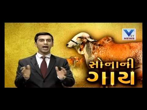 Gold In Cow Urine | VTV Gujarati