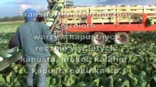 Transporter do warzyw - zbiór kapusty, kalafiora, brokuła