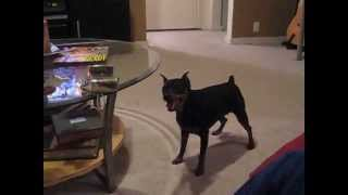Maddox Miniature Pinscher Lost In Okc Playing Ball
