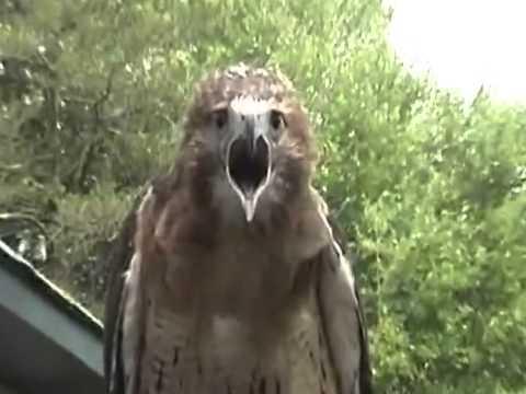 Hawk scream