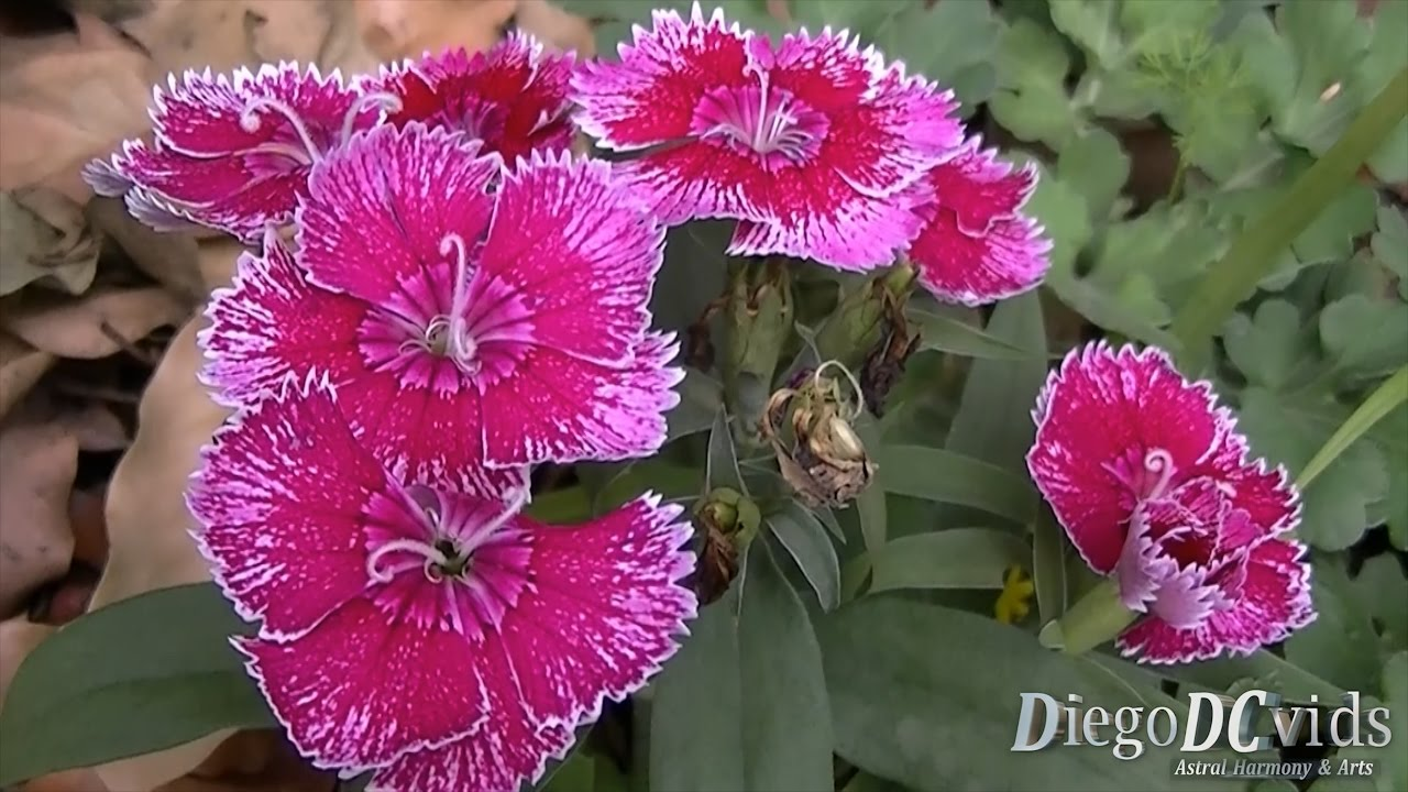 Dianthus Chinensis V2 Cravina China Pink Caryophyllaceae Youtube