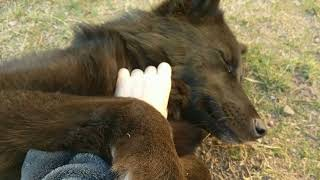A Very Happy Wolfdog