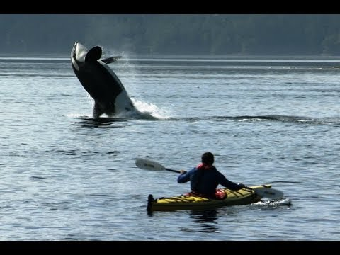 Amazing Orca Dolphins leap from the water | Deadly 60 | Series 2 | BBC