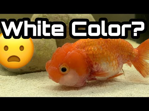 My Goldfish Is Turning White Color?