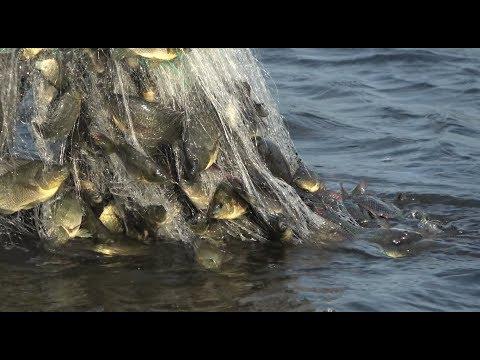 小池抓鱼又爆网啦,密密麻麻拉不动,抓到不想抓了