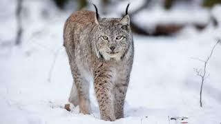 Картинка дикая кошка. Рысь, хищники, лес, снег, зима.