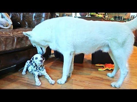 Husky Gets a Puppy Dalmatian