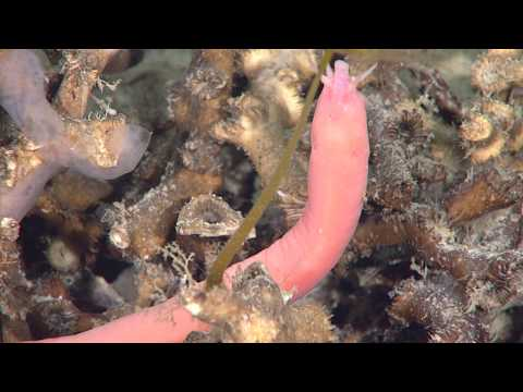 Creatures Of The Deep: The Hagfish (Myxini).